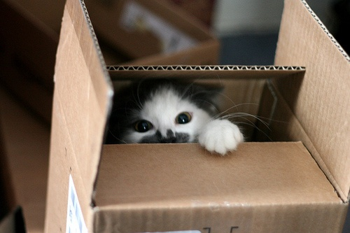 Cat emerging from box.