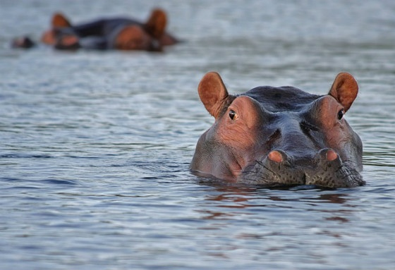 A real-life hippo, looming.