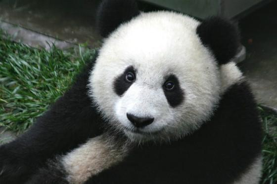 A panda, not an algorithm.