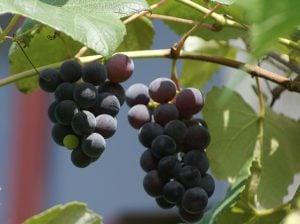grapes-435932_640